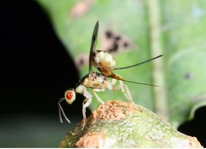 Megastigmus dorsalis