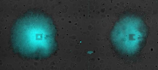 Oscilaciones sincronizadas en un par de biofilms creciendo en la misma cámara de microfluídica. - Universidad Pompeu Fabra, Universidad de California