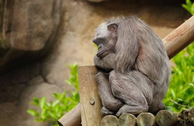 La chimpancé Vieja
