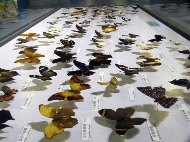 mariposas disecadas
