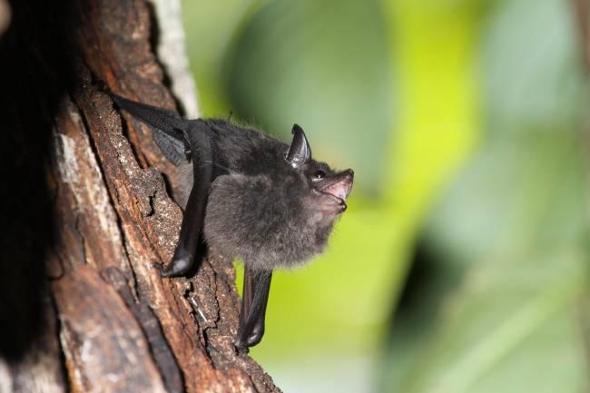 Cría de murciélago