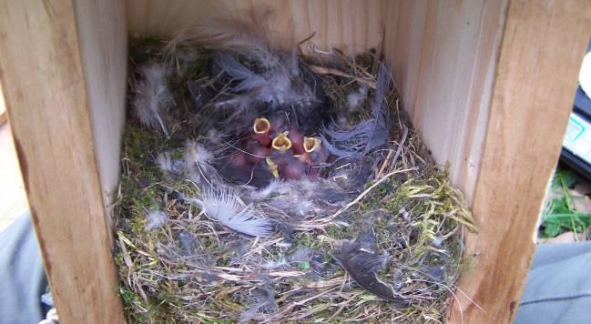 Polluelos de dos días de edad en el interior del nido. / Carolina Remacha.