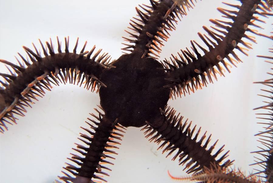 Ophiocoma wendtii