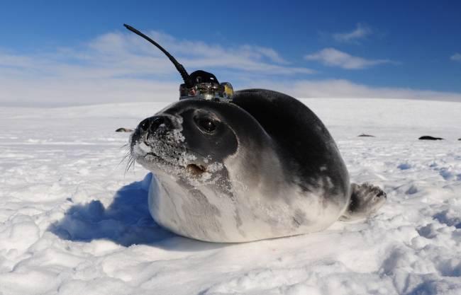 Foca de Weddell con sensor