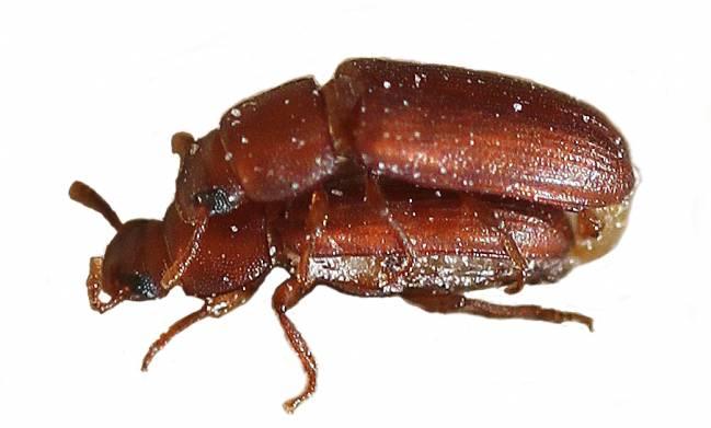 hembra de escarabajo castaño de la harina