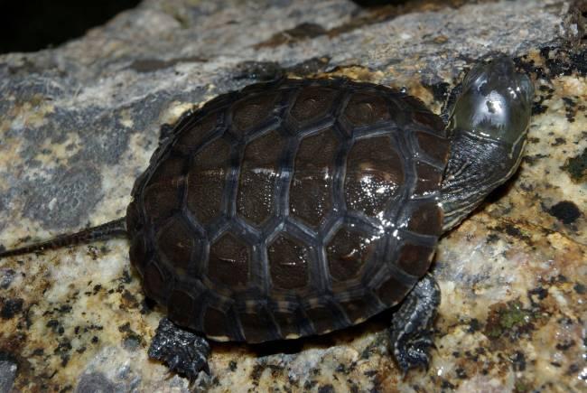 Galapago Leproso (Mauremys leprosa). / Wikipedia
