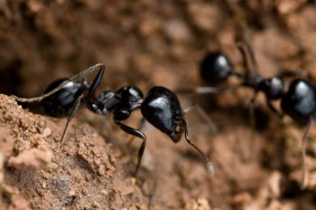 Hormigas de la espécie M.Bouvieri
