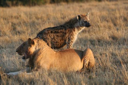Un león junto a una llena. / Wikipedia