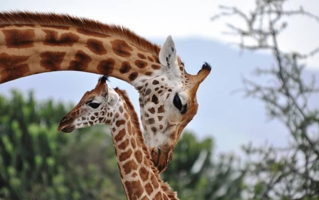 jirafas, ecosistema