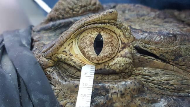 Ojo de un caimán