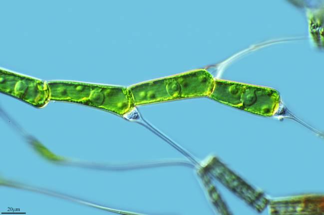 La cianobacteria de la que surgieron las plantas pertenece a un grupo existente en la actualidad / Proyecto Agua (CC BY-NC-SA 2.0).