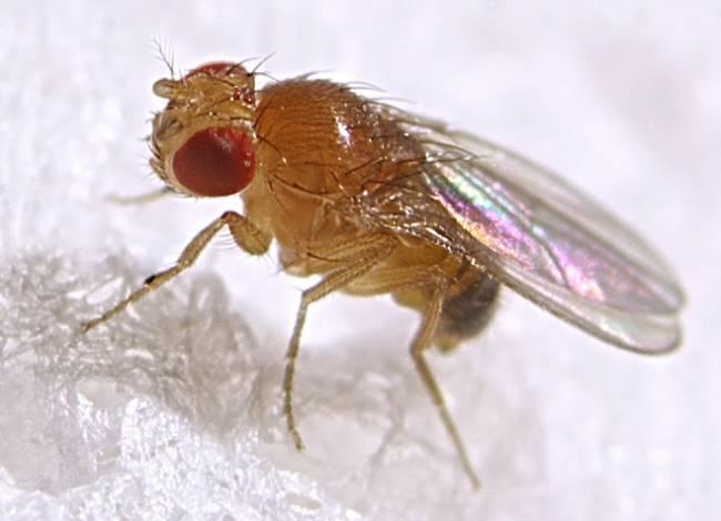Drosophila melanogaster. Imagen: Max xx