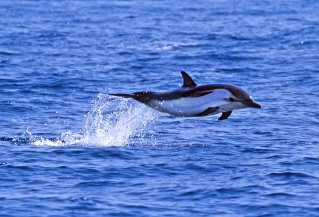 Delfín listado. Foto: Àlex Aguilar, IRBio-UB