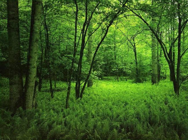 Bosque de frondosas con sotobosque de helechos. / Wikipedia