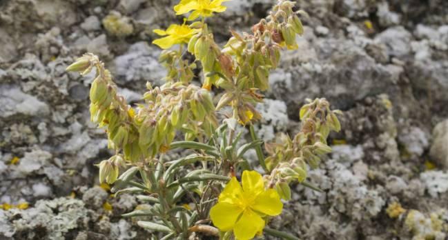 Ejemplar de romerillo (Helianthemum syriacum). / CSIC