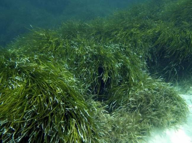Praderas de Posidonia oceanica en Formentera
