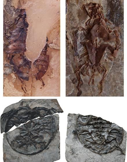 Imagenes del registro de tortugas mesozoicas