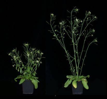 Imágenes de la planta Arabidopsis thaliana (variedad enana y normal).