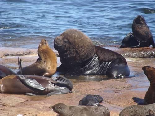La dieta y el papel ecológico de los grandes vertebrados marinos del extremo meridional del continente americano difieren notablemente de como eran originariamente. Imagen: Massimiliano Drago, UB-IRBio
