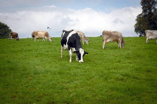 vacas metano