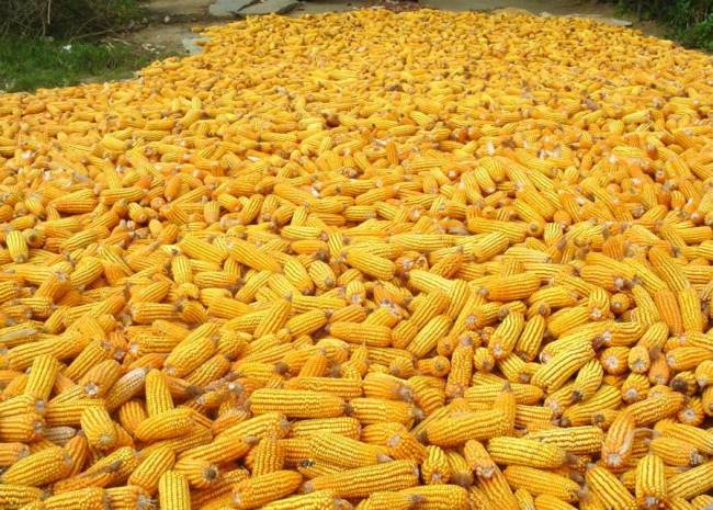 Maiz recolectado. / Wikipedia