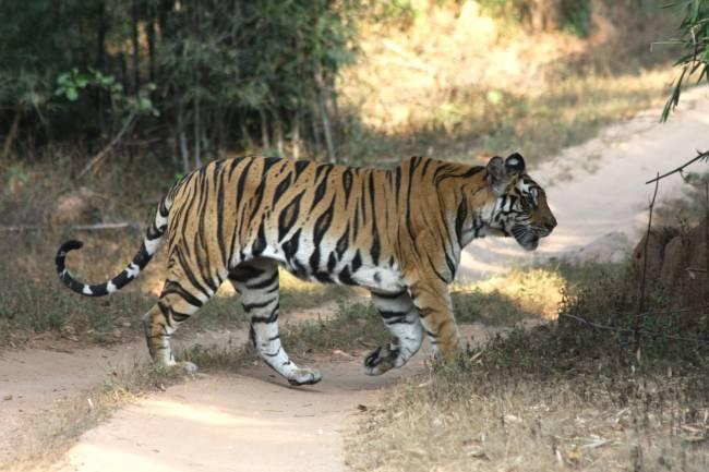 La mayoría de los estudios se centran en grandes especies como el tigre. / Jorge Lozano.
