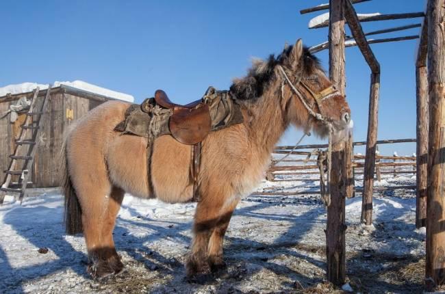 Los caballos yakutos soportan temperaturas extremas. / Maarten Takens (Wikimedia Commons)