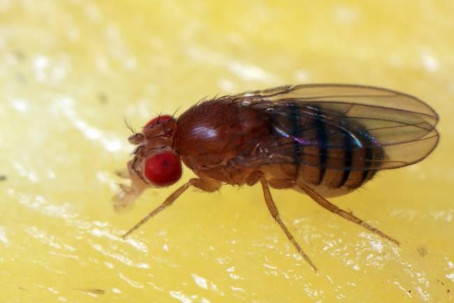 Hembar de mosca de la fruta. Imagen: Robbersdog