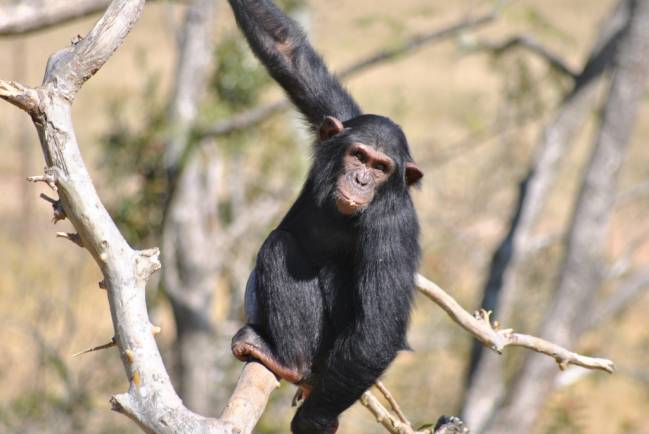 Según el estudio, los chimpancés son altamente cooperativos en su medio. Imagen: Afrikaforce.