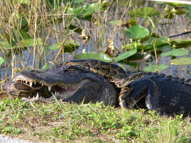 Aligátor americano y pitón