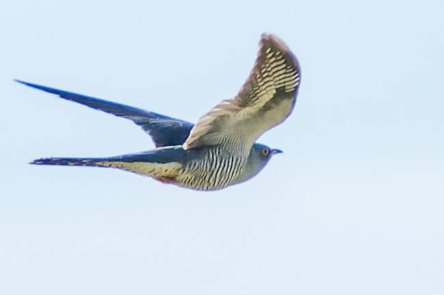 Cuco en vuelo adulto, 'Cuculus canorus'. / Eusebio Cruz.