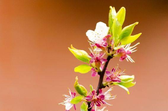 Floración en melocotonero