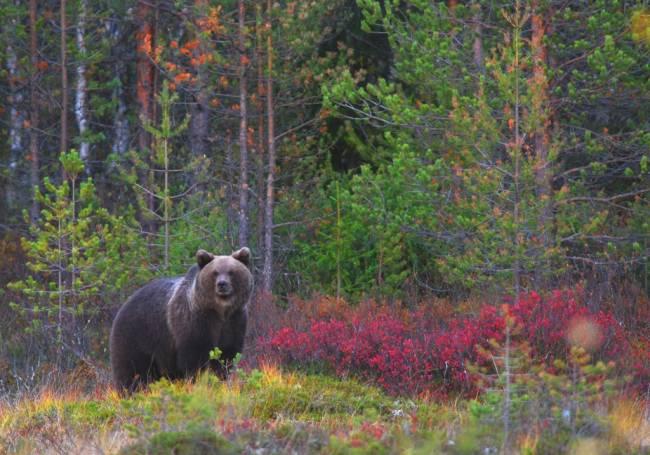 Un oso en un bosque europeo. FOTO: ©  Vicenzo Penteriani