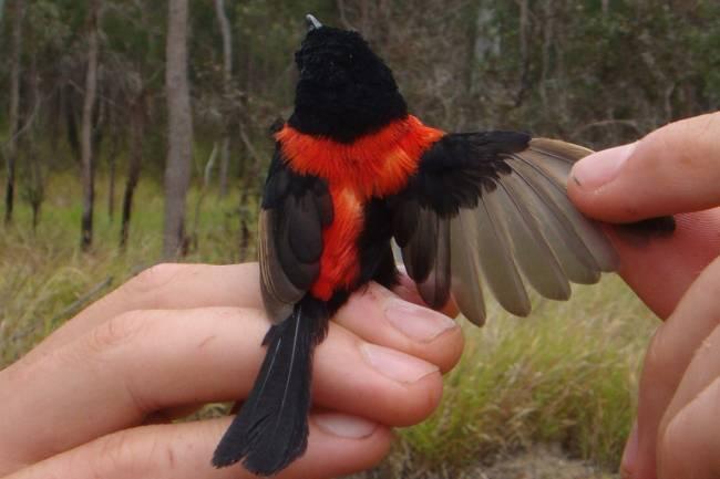 Maluro dorsirrojo con plumaje rojo y negro