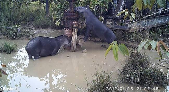 Tapires bebiendo agua contaminada.