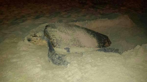 El nuevo trabajo rompe la visión más clásica sobre el comportamiento reproductor de la tortuga boba. Foto: UB-IRBio
