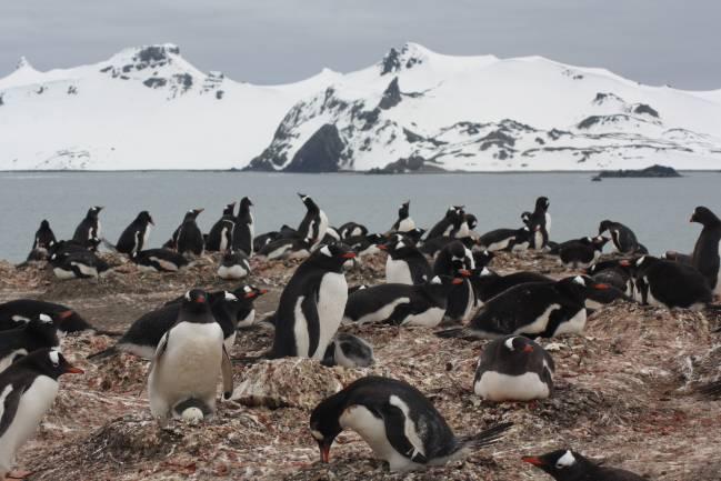Colonia de pingüino papúa