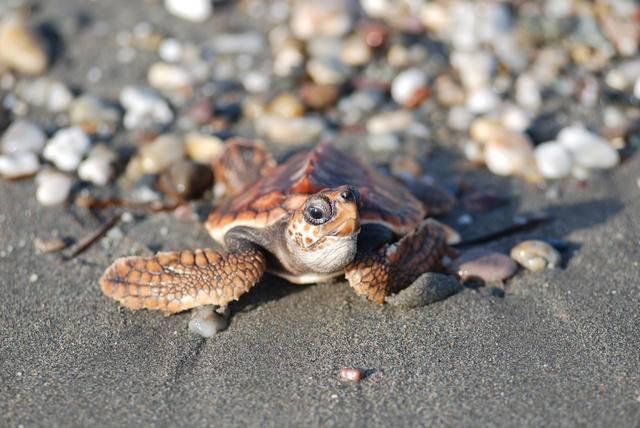 La nidificación esporádica sería una estrategia clave que ha permitido la supervivencia de la tortuga boba durante millones de años (imagen: Carles Carreras, UB-IRBio).