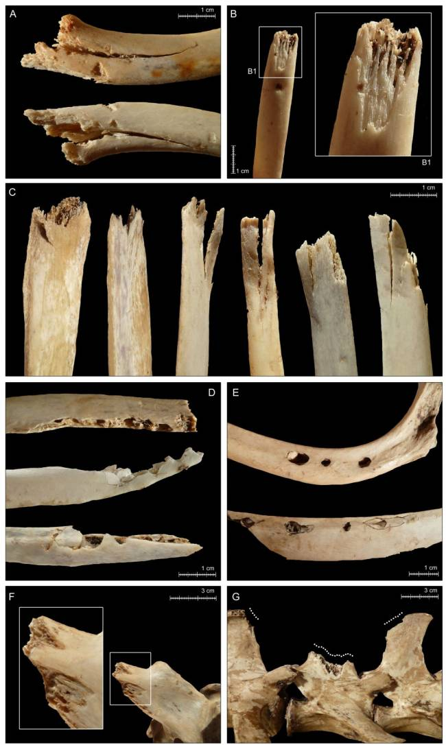 Huesos con mordeduras de osos