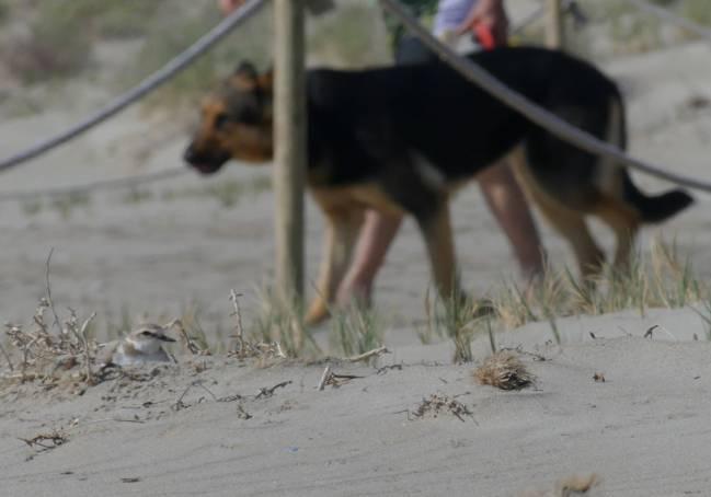 Perros en dunas