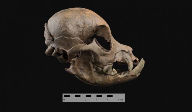 Cráneo redondeado del perro romano