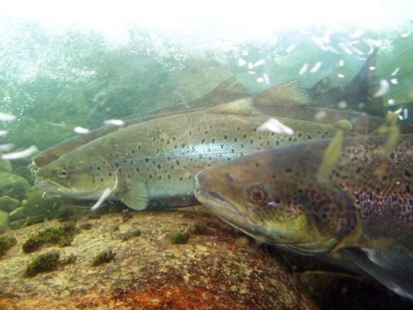 El número de peces ha disminuido porque las poblaciones han alcanzado sus niveles de explotación máximos. Imagen: Mr Jorgen.
