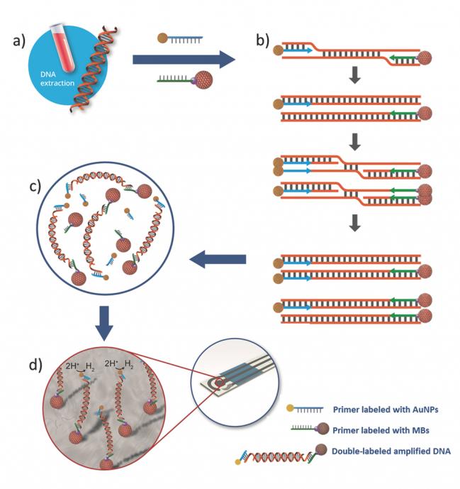 Amplificación isotérmica de ADN con nanopartículas de oro y microesferas magnéticas