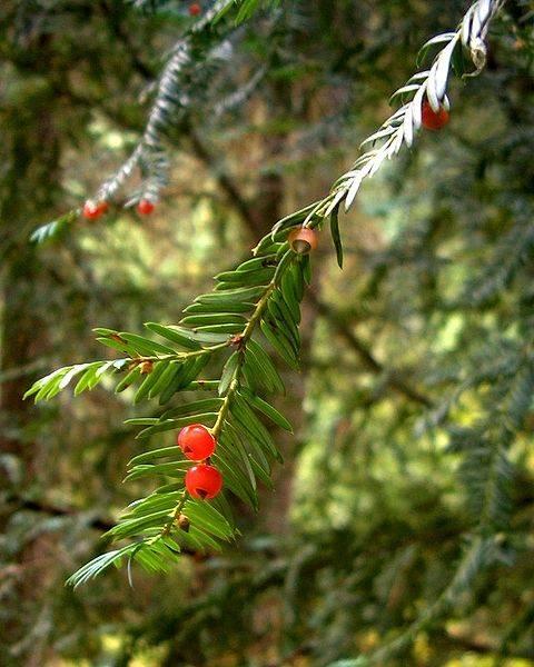 El paclitaxel y sus precursores normalmente se aíslan del tejo del pacífico (Taxus brevifolia).