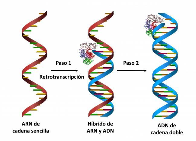Gráfica que representa cómo la retrotranscripción permite pasar de ARN de cadena sencilla a ADN de cadena doble, en dos pasos.
