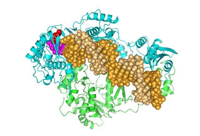 Estructura de la retrotranscriptasa del VIH-2 unida a DNA. /UAM
