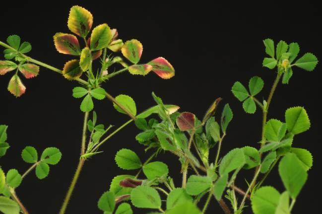 La nueva investigación se ha centrado en la fisiología de la planta Medicago truncatula, un organismo vegetal de referencia para los estudios sobre plantas leguminosas. Imagen: Karel Spruyt, VIB