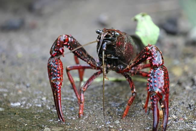 El quitosano se extrae del caparazón de los crustáceos / Wikipedia