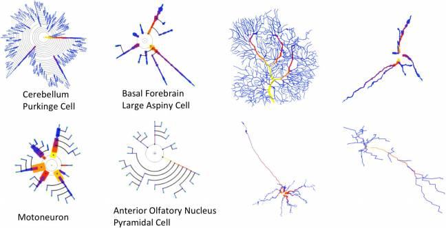 Los investigadores han diseñado una herramienta gráfica para comprender y detectar mejor las características morfológicas de las células neuronales.
