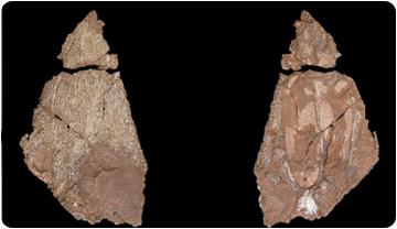 Cráneo del laberintodonte del Montseny, vista dorsal y ventral. Josep Fortuny. ICP